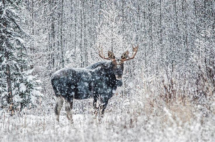 Moose surrounded by snow