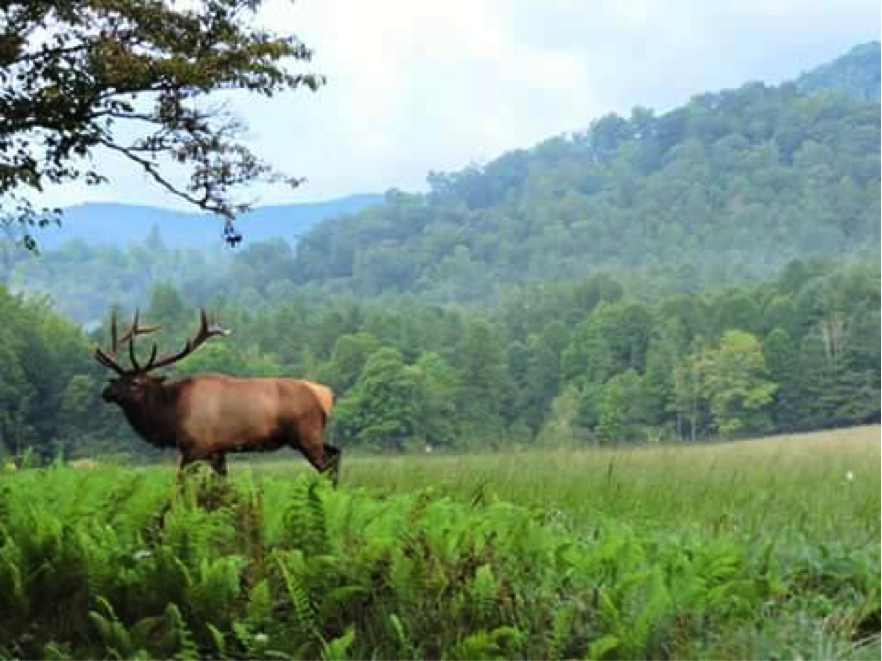 Bull elk surrounded by green foliage and trees