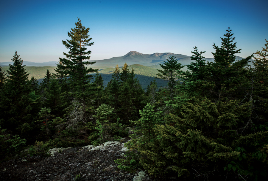 Evergreen trees with mountains and sky in the background