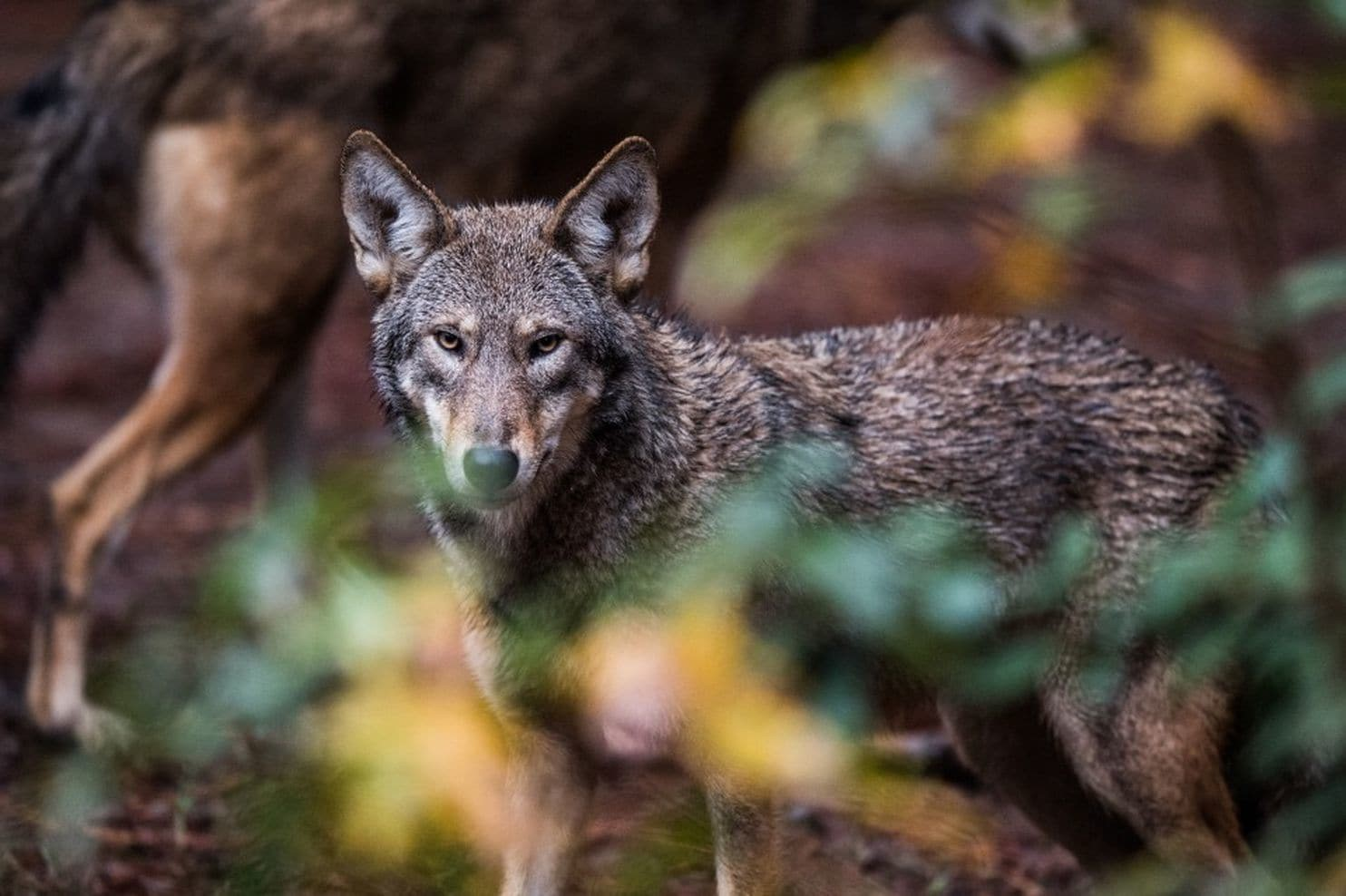 Green and yellow leaves frame a red wolf looks directly at the camera.